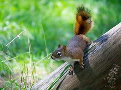 Red Squirrel (Pauline Brock) Tags: squirrel redsquirrel americanredsquirrel treesquirrel rodent animal wildlife nature tamiasciurushudsonicus