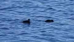 Harlequin Ducks Dive (waledro) Tags: neckpointpark diving ducks harlequin water video nature birds