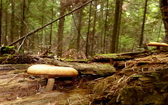Mushrooms Along the Trail--Explored (yooperann) Tags: mushrooms fungus fall autumn marquette upper peninsula michigan north country songbird trail nature rotting log