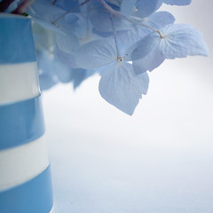 Flowers and stripes (borealnz) Tags: flowers blue floral square petals flora pretty pastel jug vase hydrangea arrangement striped blueandwhite hyd march13 florets hydrangeamacrophylla bsquare cornishware