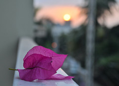 ... (Sarika Siraj) Tags: sunset spring dhaka 1855mm bangladesh bogenvelia nikond5000 kagojful