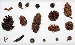 Conifer Cones (BlueRidgeKitties) Tags: plant pine cone cedar fir cypress redwood botany cupressus cupressaceae hemlock spruce sequoia metasequoia japanesecedar tamarack conifer giantred