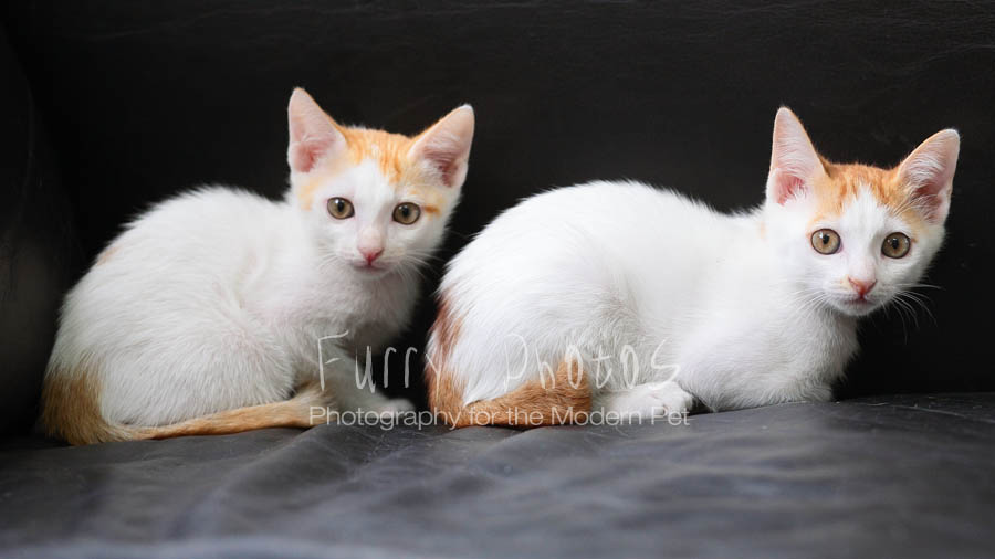 two ginger and white kittens
