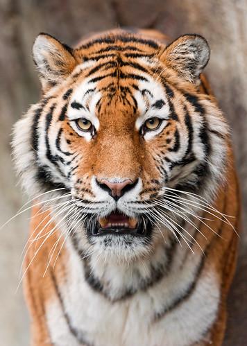 [フリー画像] 動物, 哺乳類, ネコ科, 虎・トラ, 201104031100
