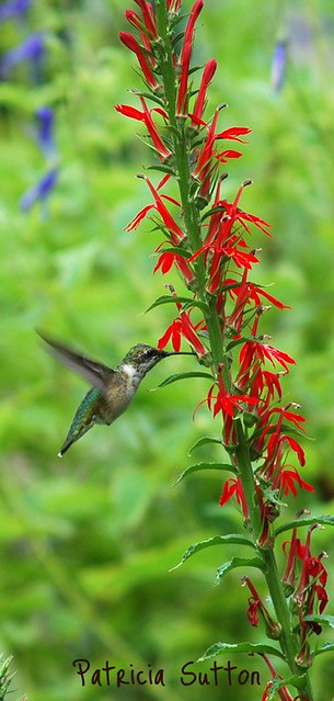 Ruby-th Humm on Cardinal Flower by Pat Sutton