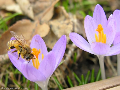 Macro photo of pollen laden bee in crocus, this net stretched above the abyss, the soul-family journey in the gaze of the Vast Mystery in gratitude.