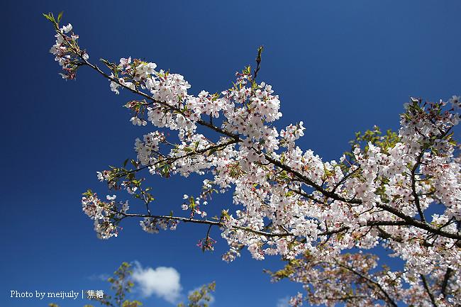 2011阿里山櫻花季晴天版16
