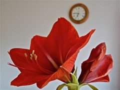 Time to Blossom into 50,000 Views. By Ian Layzell (IANLAYZELLUK) Tags: flowers red plants plant flower nature rouge petals spring stem natural petal amaryllis colourful springtime hippeastrum april2011 ianlayzell