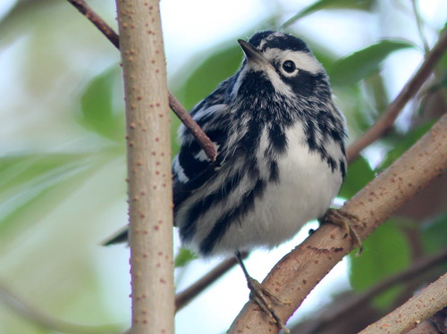 Black-and-White Warbler 2-20110406