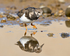 Low Pov (Andrew H Wildlife Images) Tags: bird nature wildlife norfolk salthouse turnstone wader canon7d ajh2008