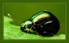 ~Does My Bum Look Big In This~ (Eddie The Bugman) Tags: nottingham macro closeup beetle attenborough mating coleoptera extensiontubes gastrophysaviridula nikkor60mmmicro sb900 nikond7000 wildlifeonthegoakabugman edwardnurcombe