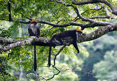 Red Colobus, Udzungwa National Park