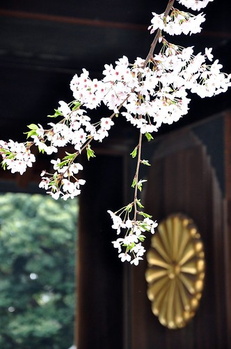 Japanese Cherry blossoms at Yasukuni Shrine