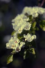 Kersenbloesem (sole) Tags: flowers blue trees light white flower holland macro primavera nature beautiful spring foto fotografie cherryblossom lente carmen betuwe kersen kersenbloesem sole carmengonzalez velddriel