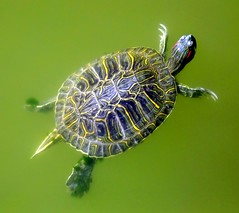 Turtle Solo (Chris C. Crowley) Tags: green nature animal swimming turtle reptile shell turtles aquatic naturephotography floridawildlife naturegroupfromanimalstoplants chriscrowley raccontarelanatura celticsong22 naturalexcellence natureislovely
