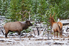 You Looking at Me? (bhophotos) Tags: trip travel autumn vacation usa snow nature geotagged nikon wildlife bull stare yellowstonenationalpark yellowstone wyoming elk nikkor ynp d300 madisonvalley coth 200400mmf4gvr coth5
