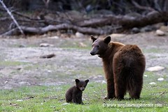 bear family - Yosemite National Park (My Planet Experience) Tags: california bear usa west nature america canon landscape mammal photography us photo nationalpark photographie unitedstates image pics wildlife indian bears scenic american yosemite teddybear western grizzly paysage mammals parc indien ursus ours californie brownbear oldwest amricain amrique tatsunis ouest arctos wwwmyplanetexperiencecom