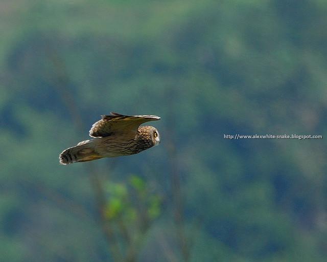 短耳鴞 2