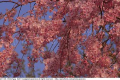 2011-04-14 0569 Sakura, Prunus serrulata, the weeping cherry tree blossoms (Badger 23 / jezevec) Tags: park pink flowers flower tree cherry spring blossom indianapolis blossoms indiana anh bloom  flowering sakura blooms holliday weeping hoa blooming prunus cerezo weepingcherry    kirschblte   jezevec cvijet serrulata shidarezakura prunusserrulata o krsbr   cseresznyevirg japanskt  hoaanho kirsuberjatr badger23 namumulaklak  trenjin    seresang trenjincvijet