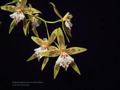 Odontoglossum multistellare 905 (A. Romanko) Tags: orchid orchids orchidaceae orquidea orchidee odontoglossum orchideen orchidales multistellare