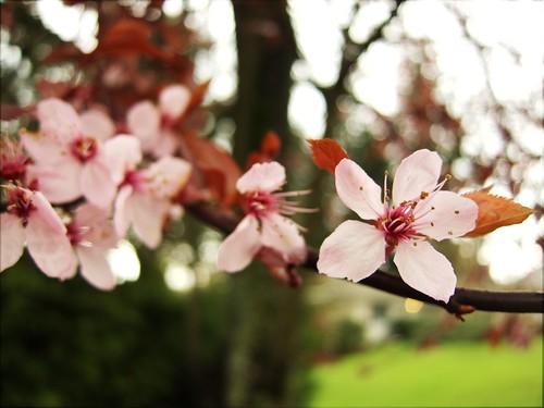 CherryBlossomExp