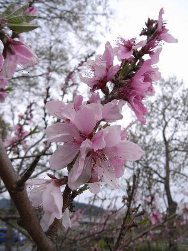 春の花々@明日香村-31