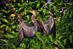 Anhinga from Wakodahatchee Wetlands (Captain Kimo) Tags: bird digital photoshop plugin highdynamicrange hdri topaz anhinga wakodahatcheewetlands photomatix hdrphotography singleexposurehdr hdrphotos topazadjust