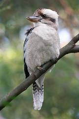 Kookaburra Pose (sparkleshots (trying to catch up)) Tags: bird canon sydney australia nsw kingfisher kookaburra