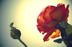 Mi flor está allí... (Carlos Alberto Tellería) Tags: flower flor rosa prince principito petit exupery