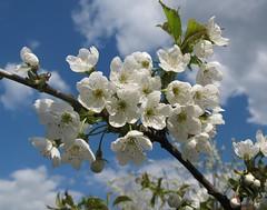 Fluffy (langkawi) Tags: white cherry blossom himmel bluesky sakura langkawi blau blüten kirschblüte weis naturesfinest