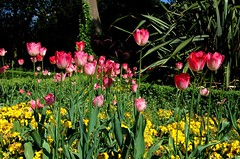 Easter Uprising (Gaz-zee-boh) Tags: uk flowers england london nature easter tulips municipalpark goodfriday easterflowers londonist waterlowpark n19 easteruprising wonderfulworldofflowers