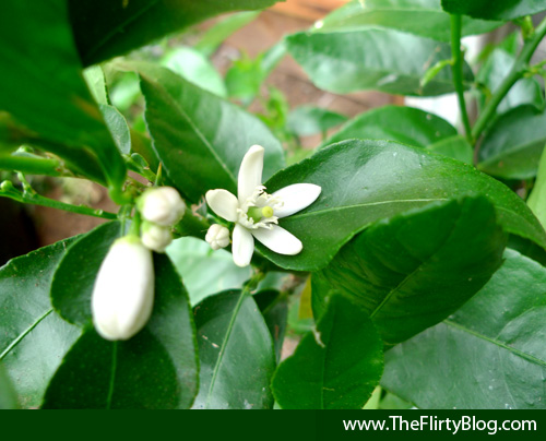 bearss-seedless-lime-blooming-flowers