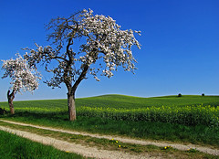 Beside the green hills (RainerSchuetz) Tags: spring countrylane appletrees farmtrack artistoftheyearlevel4
