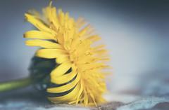 Just Breathe (Kelly.Hunter.) Tags: macro yellow weed sony dandelion handheld gree 50mmf28 a700