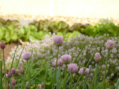 chives, thyme, salads