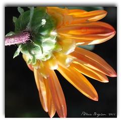 Reaching for the Light (Aqua0646 (Pat)) Tags: flower macro nature africandaisy