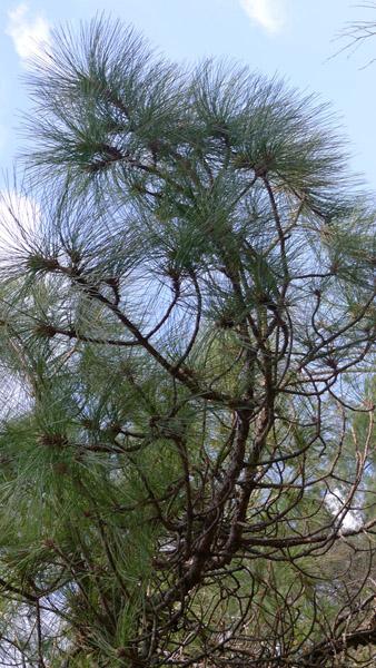 大理苍山松树