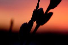 Pajunkissa Willow (Kylpylhotelli Sani - Kalajoki Resort & Spa) Tags: sea beach spring meri luontokuva ranta linnut kevt kalajoki pohjanlahti hiekkasrkt naturephotographing