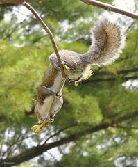 Squirrel (AGanPhotography) Tags: toronto green nature animal closeup fur spring movement furry squirrel highpark ground sharp