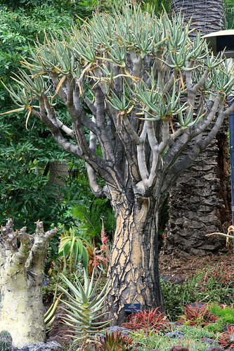 huntington aloe ramosissima