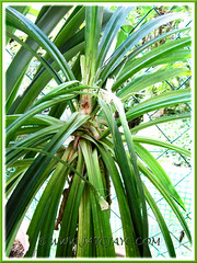 Pandanus amaryllifolius, with growing tip destroyed by monkeys. Shot Dec 30 2009