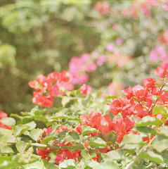 {red} ({ Rssy }) Tags: flowers flores bokeh trinitarias