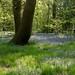 Bluebells in Ecclesall Woods