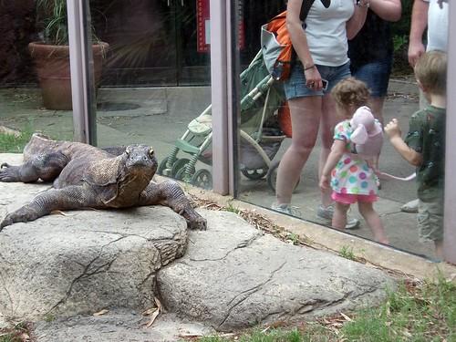 Hollywood Jeff - Komodo Dragon - Memphis Zoo