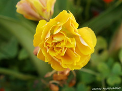(georgeb23) Tags: flowers flower color macro green nature colors yellow greece crete