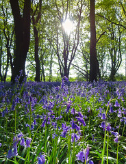 Bluebells 'Contre Jour' (CLIFFWALKER) Tags: woods bluebell southyorkshire contrejoure