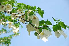 Handkerchief Tree (Pixies and Pixels) Tags: flowers blue sky green leaves garden petals kent spring interesting bokeh branches depthoffield explore april sevenoaks emmetts idehill emmettsgarden handkerchieftree nikond80