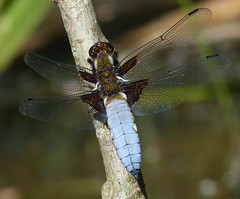 Broad-bodied Chaser Male (Garry1968) Tags: male chaser broadbodied