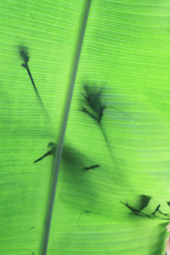 New York Botanical Gardens - Silhouettes On Orange Gyro (Heliconia latispatha) Leaf