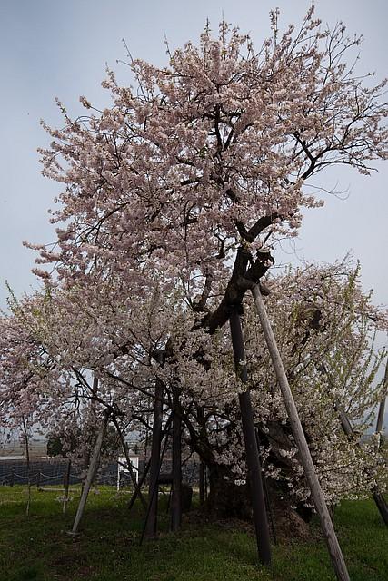 Cherry blossoms in Fukushima (Aizu-wakamatsu)
